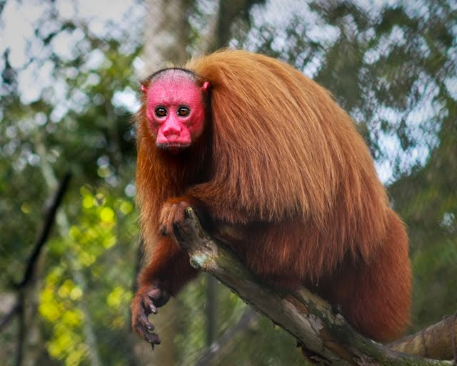 Bald Uakari for Audrey Lindsay