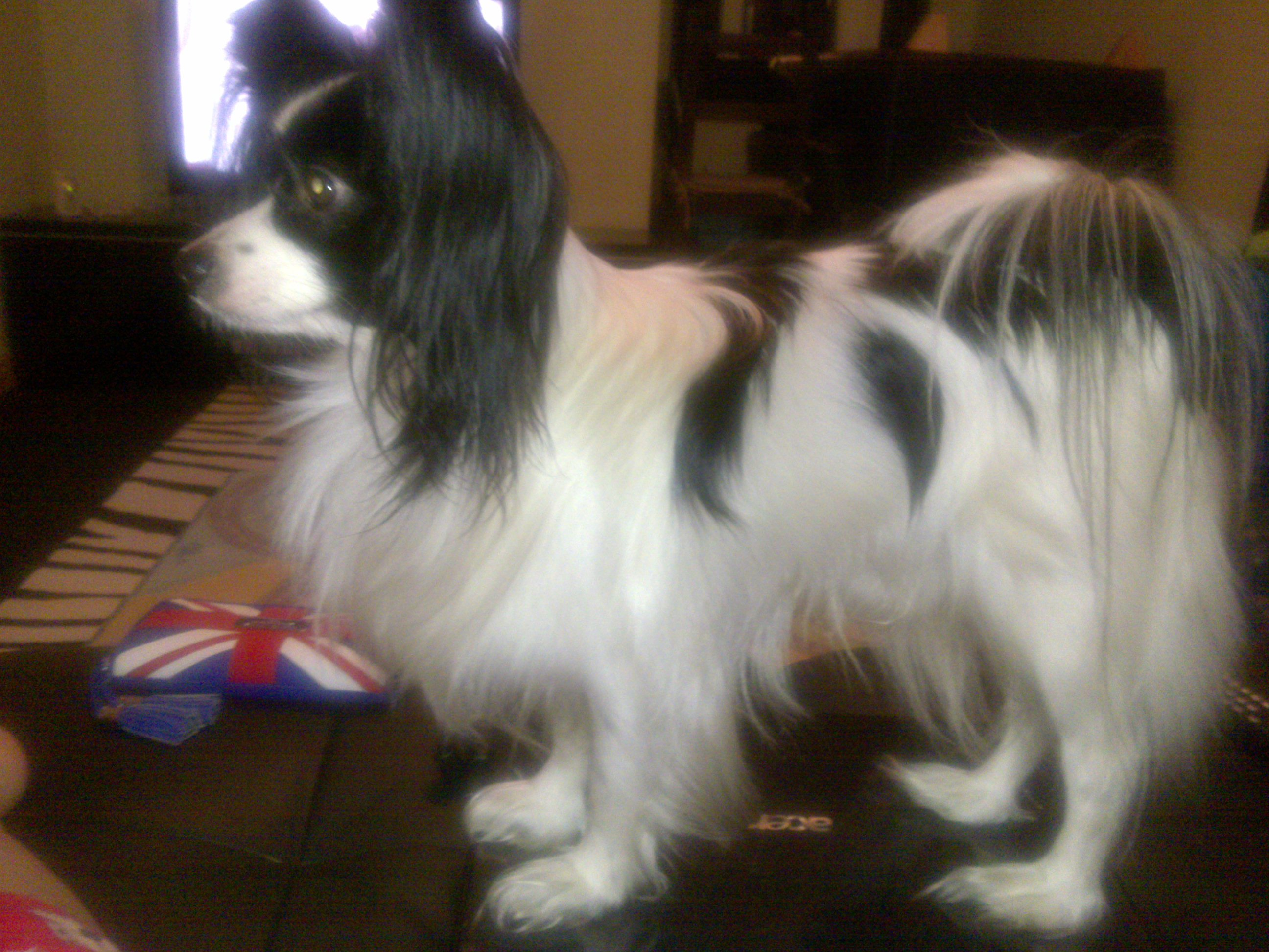 Daddy the Papillon Butterfly Dog for Angela Ryan